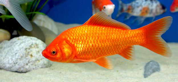 Fish bilder kostenlos fisch bilder zum ausmalen for Koi und goldfische