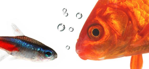 Goldfische im aquarium vertragen sie sich mit anderen for Goldfische im aquarium