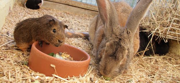 kann man kaninchen und meerschweinchen zusammen halten. Black Bedroom Furniture Sets. Home Design Ideas