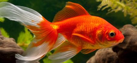 Goldfisch Wird Weiß